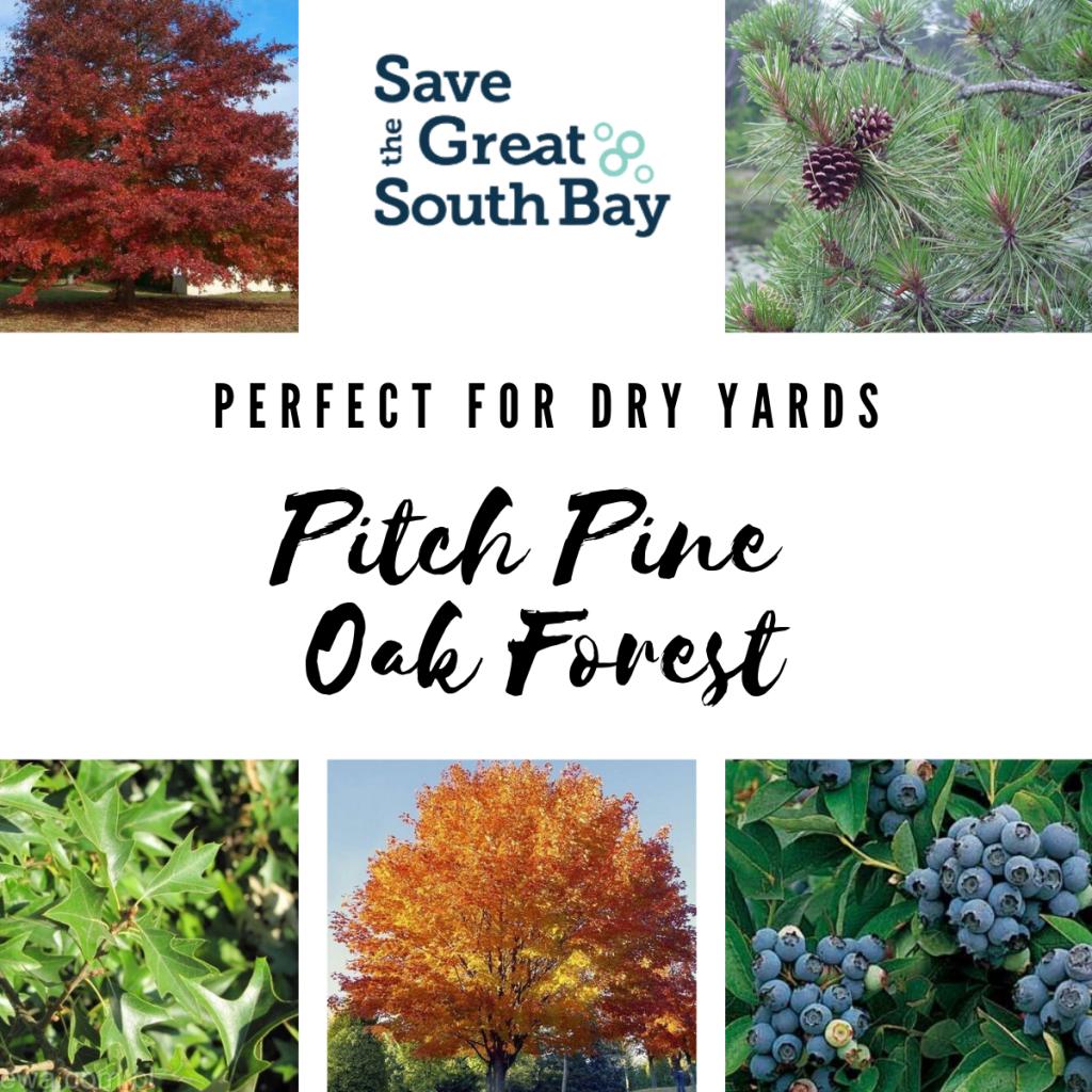 Pitch Pine Oak Forest