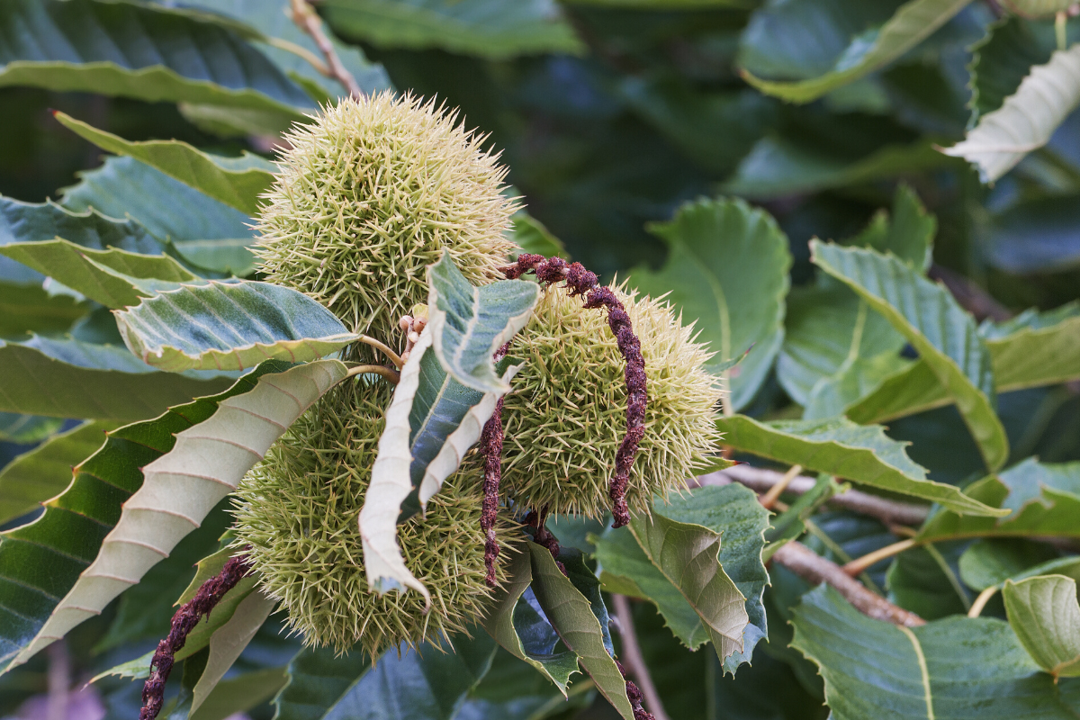 Hunt for the American Chestnut Challenge