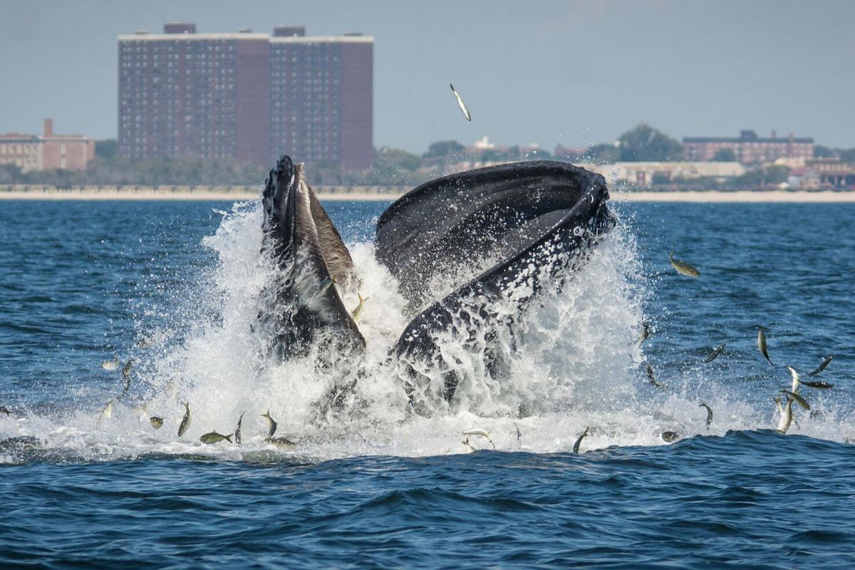 Whale eating Menhaden