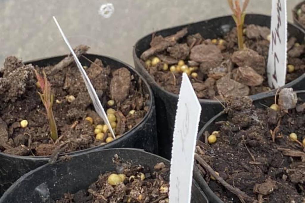 American Chestnut Seedling