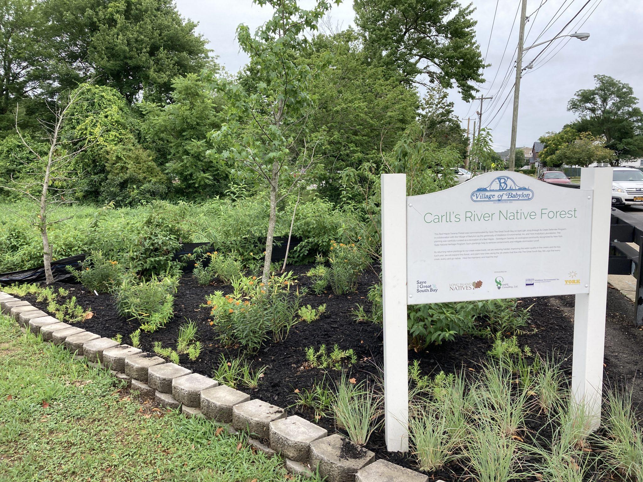 Restoring Habitat Along Carll's River