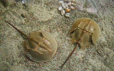 Endangered Species Day: Horseshoe Crabs